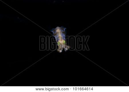 Colorful Cuttlefish At Night