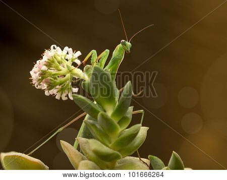 green praying mantis on flower on brown background