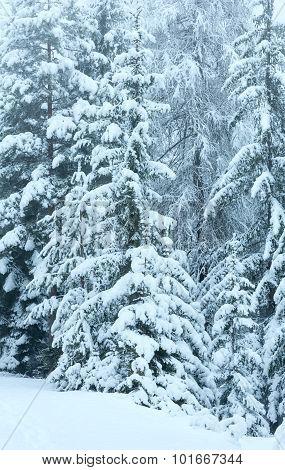 Snowy Fir Forest.