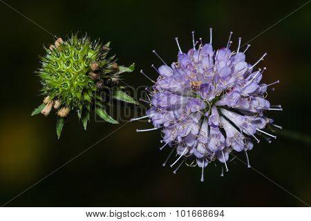 Devil's-bit Scabious - Succisa Pratensis, Flowers Macro, Selective Focus