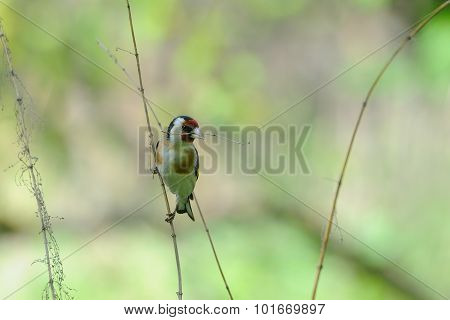European Goldfinch With Dry Grass For A Nest