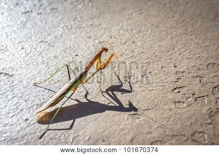 Praying  Mantis Close Up
