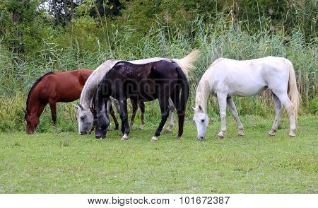 Purebred Arabian Horses Grazing On Pasture Summertime