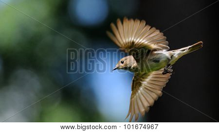 Flying Female Pied Flycatcher