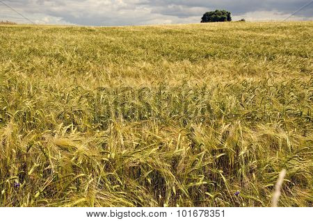 Field Of Ripening Barley With Cloudy Sky