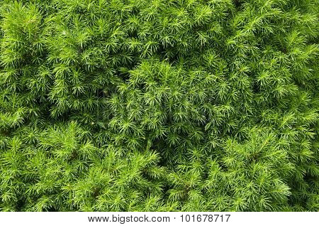 Fir Tree Needles Background