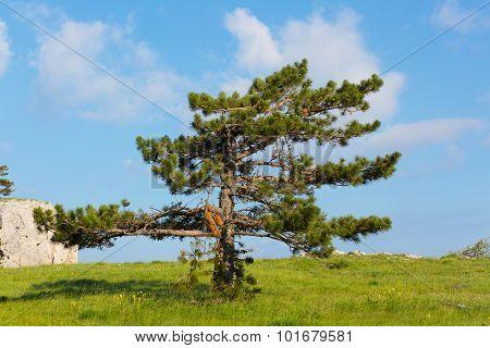 Pinus Stankewiczii Grows On A Plateau On The Mountain Ai Petri