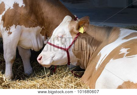Simmental Cow