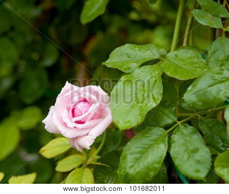 Rose Pink  On Natural Background.