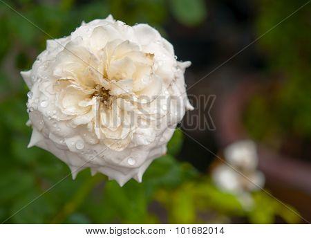 White Roses ,