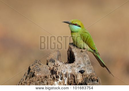 Little Green Bee-eater At Goa Beach, India