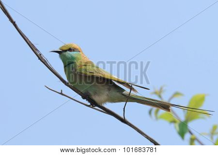 Little Green Bee-eater In The Garden At Goa Beach, India