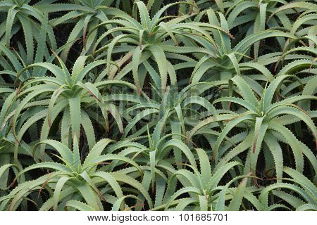 Aloe Vera Green Plant Background In Horizontal Format. Azores.