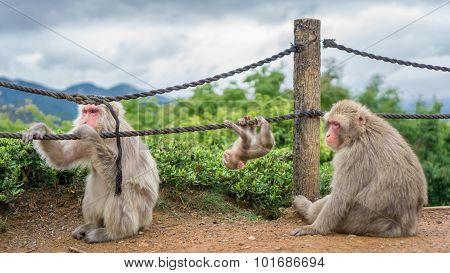 Monkeys in Arashiyama mountain, kyoto