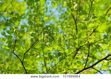 Fresh Spring Leaves Of Birch On A Background Of Clear Sky