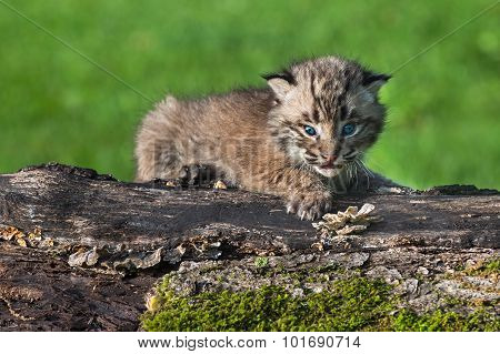 Baby Bobcat (lynx Rufus) Looks Out From Atop Log