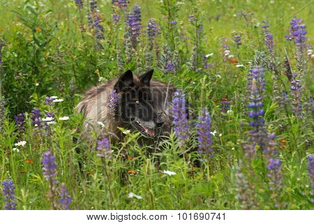 Black Phase Grey Wolf (canis Lupus) In Lupin