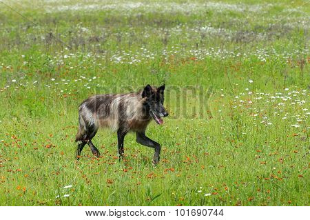 Black Phase Grey Wolf (canis Lupus) Trots Right Through Field