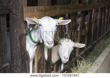 Goat in an animal stable, seen in France