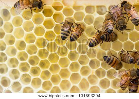 Italian honeybees constuct comb