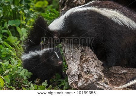 Mother Striped Skunk (mephitis Mephitis) Sniffs Kit