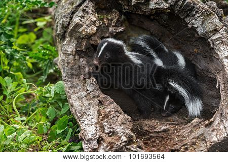 Two Baby Striped Skunks (mephitis Mephitis) In Log