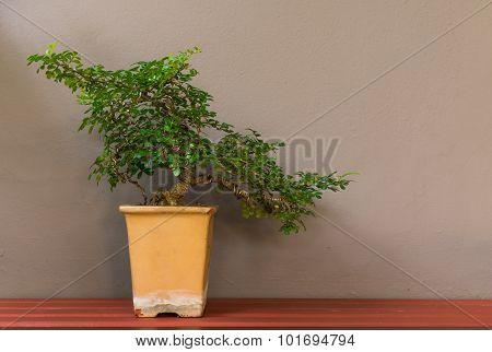 Bonsai Tree In Pot On Wall Background