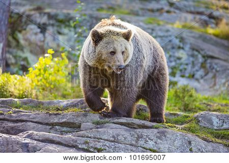 Big adult brown bear in the sunset