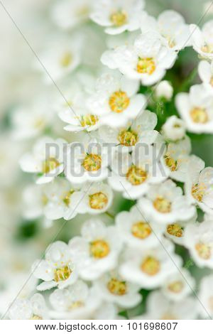 Light, Airy Masses Of Small White Flowers.