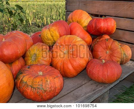 Big orange pumpkins