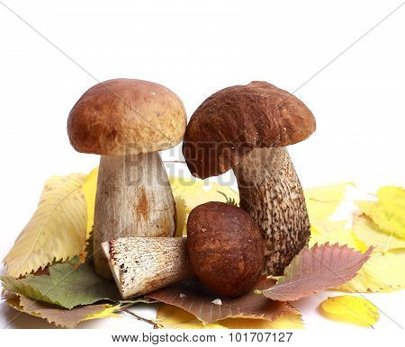 Mushroom Orange-cap Boletus And Boletus