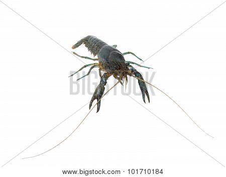 Marble Crayfish