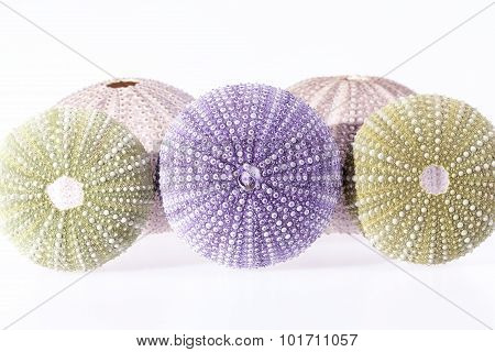 Group Of Green And Violet Sea Urchin Isolated On White Background.