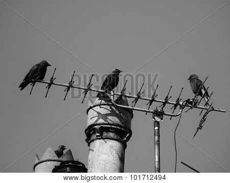 jackdaws on chimney wire aerial flock group cheeky crow