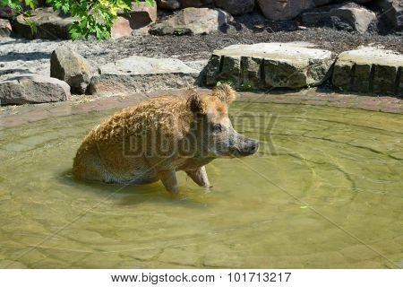 Pig swim in the pool