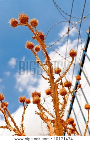 Thorny Plants On Background Of Blue Sky And Barbed Wire Fence