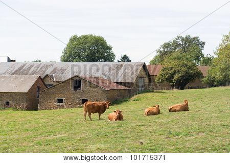 Typical Limousin cows in the French pastures near village