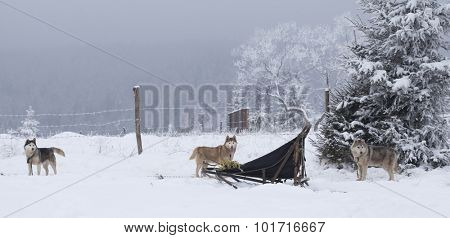 Siberian Huskies waiting to start the ride in the snow