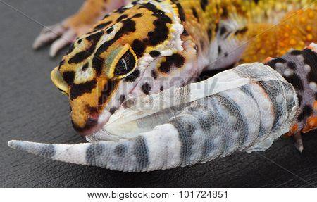 A shedding juvenile leopard gecko yanking the skin off of his tail.