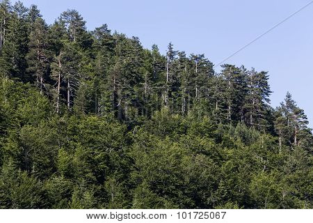 Beautiful Lined Green Trees In Forest In Greece