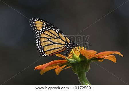 Monarch Butterfly feeding on Mexican Sunflower