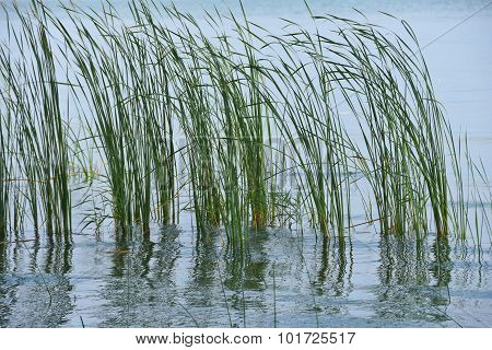grass in flooded wetland