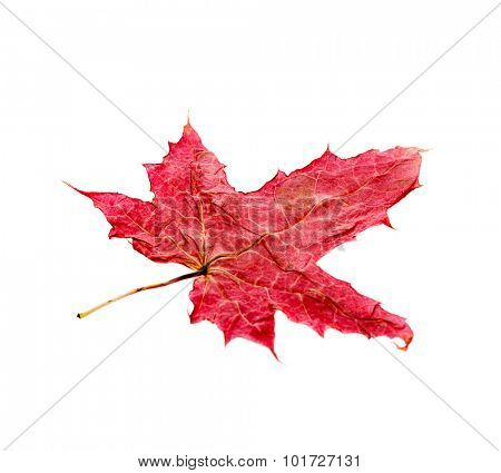 autumn leaf isolated on white background