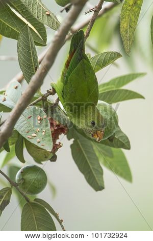 Ceylon Hanging-parrot perched in a tree