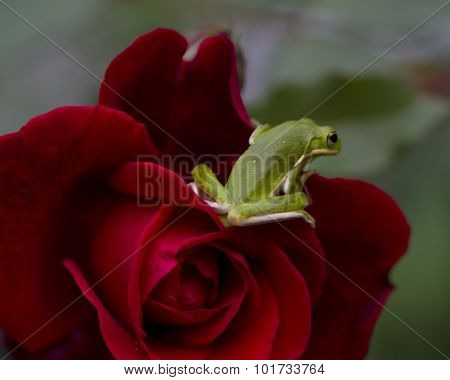 Alabama Green Tree Frog on Crimson Rose