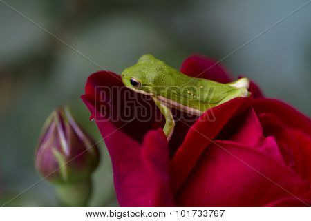 Alabama Green Tree Frog on Red Rose