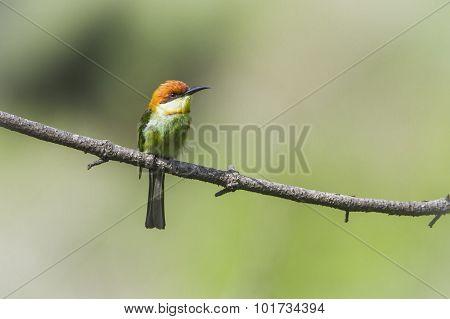 Chestnut-headed Bee-eater In Ella, Sri Lanka
