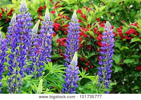 Perennial lupins with a background of flowering red weigelia.