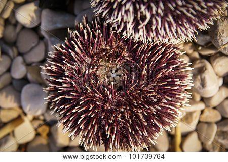 Sea Urchin, Bol, Brac, ?roatia