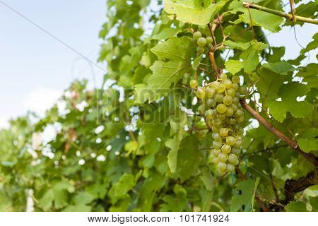 Grapes On Vineyards Under Palava. Czech Republic